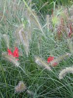 Pennisetum alopecuroides 'Hameln' 'Imperata 'Cylindrica' m.fl.