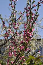 Prunus persica 'Frost'