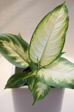 Prickblad Dieffenbachia seguine 'Camilla'