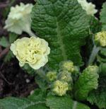 Primula vulgaris 'Val Horncastel'