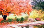 Prunus med höstfärg