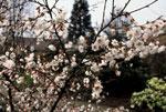 Vårkörsbär - Prunus x subhirtella 'Hally Jolivette'