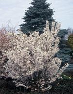 Kurilerkörsbär - Prunus nipponica var. kurilensis 'Brilliant'