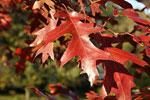 Quercus velutina, detalj