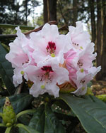 Rododendron aff. calophytum