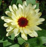 Ringblomma 'Lemon Beauty'