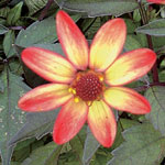 Röd/gul dahlia 'Dark Angels'
