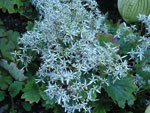 Saxifraga cortusifolia 'Fortunei'