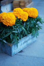 Stor tagetes, orange