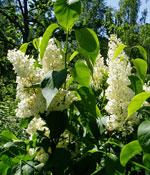 Syren Syringa vulgaris 'Primrose'