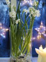 Tazett, Narcissus tazetta