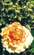 Trädpion med Cornus alba 'Var'