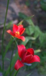 Tulipa sprengeri, sommartulpan