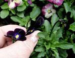 Viola (Tricolor-Gruppen) 'Bowles' Black'