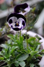 Viola (Tricolor-gruppen) 'Penny Mickey'