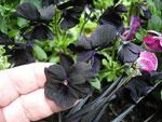 Viola cornuta 'Molly Sanderson'