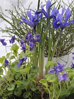 Violer och iris