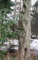 Abies veitchii, fujigran, har en mycket speciell stam.