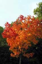 Acer platanoides 'Emerald Queen' i höstfärg
