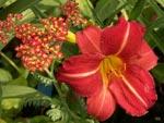 Achillea 'Paprika' och Hemerocallis 'Red Rum'
