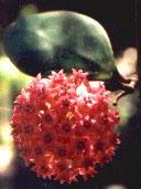 Hoya acuta röd klon