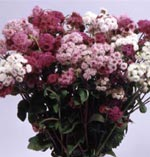 Ageratum houstonianum, Timeless Rosy Future