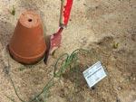 Allium wendelboanum, planterad och klar