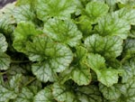 Heuchera 'Peppermint Ice'