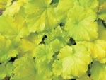 Alunrot 'Key Lime Pie'