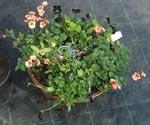 Ampel med Diascia, klöver och svarta violer