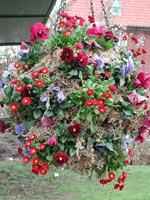 Det röda fortsätter i ampeln med vinröda och blåa penséer och röda bellis. Ampeln är nyplanterad på bilden, så mossan syns här, men kommer under våren att helt försvinna under växterna.