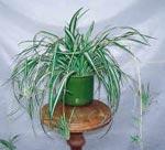 Chlorophytum comosum, ampellilja