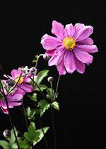 Anemone hupehensis 'Jean Poligne'