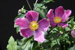 Anemone hupehensis 'Pretty Lady Diana'