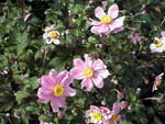 Anemone 'Serenade pink'