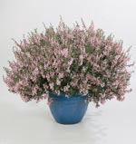 Angelonia Angelmist Light Pink
