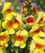 Lejongap, Antirrhinum 'Princess Yellow with Red Eye'