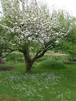 Äppelträdet 'Möllers Venus' med ängsbräsma Cardamine pratensis