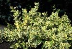 Klätterbenved, Euonymus fortunei 'Emerald'n Gold'