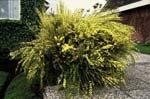 Vårginst, Cytisus x praecox 'Allgold'