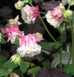 Akleja, Aquilegia vulgaris 'Petticoat'