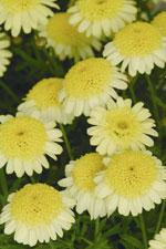 Margerit, Argyranthemum frutescens 'Madeira Crest Yellow'