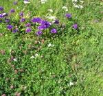 Artrik slänt. En blandning av odlade och vilda växter.