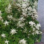 Aruncus aethusifolia, koreansk plymspirea