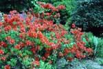 Azalea 'Koster's Brilliant Red'
