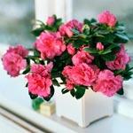 Rumsazalea (Rhododendron Simsii-gruppen)