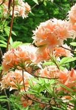 Azaleorna börjar också blomma i april.