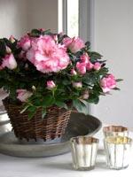 Sorten 'Hülsten', en tvåfärgad azalea där bas och kronblad är vita och sedan avslutas med en cerise kant.