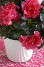 Azalea 'Inka' är en härligt cerisefärgad azalea.