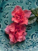 'Lunterra', sorten som har en ganska så obestämbar färg men det är så nära laxorange man kan komma. På den här bilden har blommorna klippts av från krukväxten för att pryda ett keramikfat fyllt med vatten. Ett arrangemang som man gott kan unna sig eftersom själva krukväxten är helt översållad med blommor och det märks därför inte om du tar av ett par tre blommor.